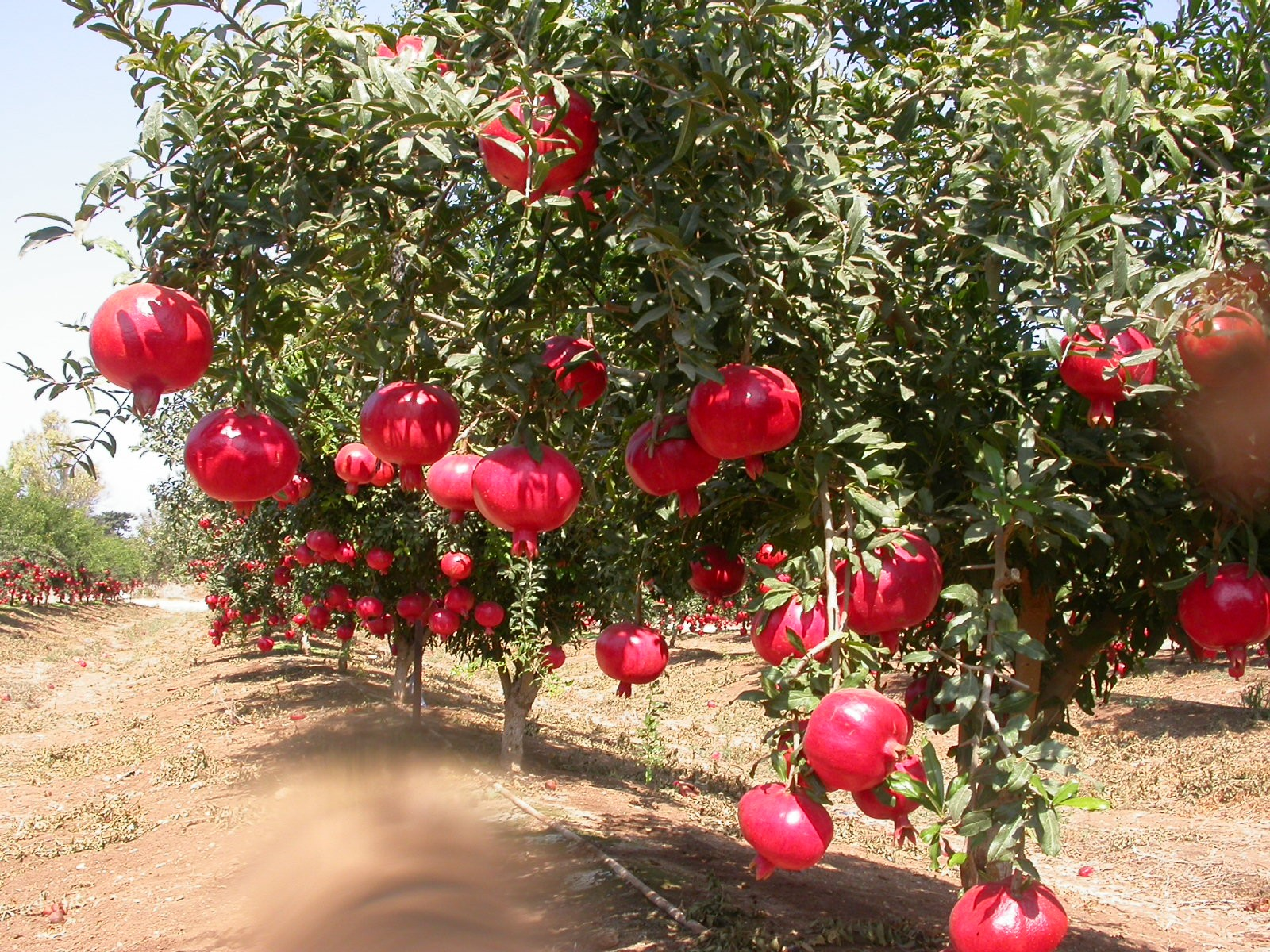 Pomegranate in Iranian Lifestyle | Iran Traveling Center